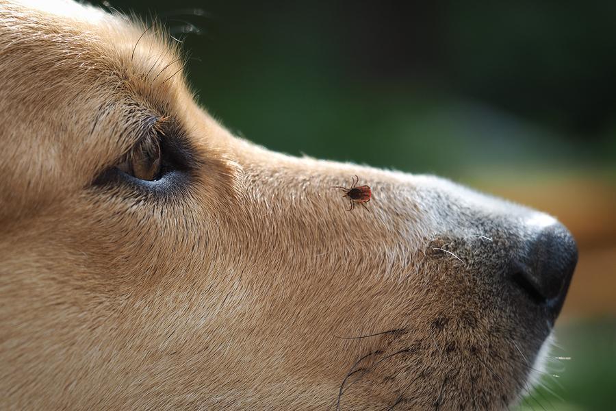 Dogilike.com :: เอาแล้วไง! พบเชื้อก่อโรคในสุนัข rickettsia สายพันธุ์ใหม่ติดต่อจากเห็บ