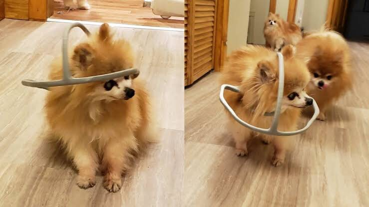 Dogilike.com :: สุดยอด! ห่วงพิมพ์ 3 มิติ ช่วยให้ตูบตาบอดเดินได้อย่างอิสระ