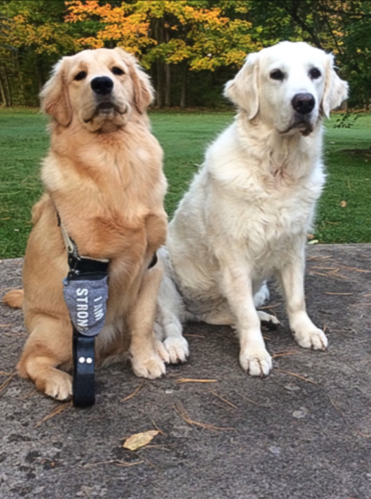Dogilike.com :: น้องหมาโกลเด้นฯ 3 ขา กับมีชีวิตใหม่เมื่อได้ขาเทียมไบโอนิก