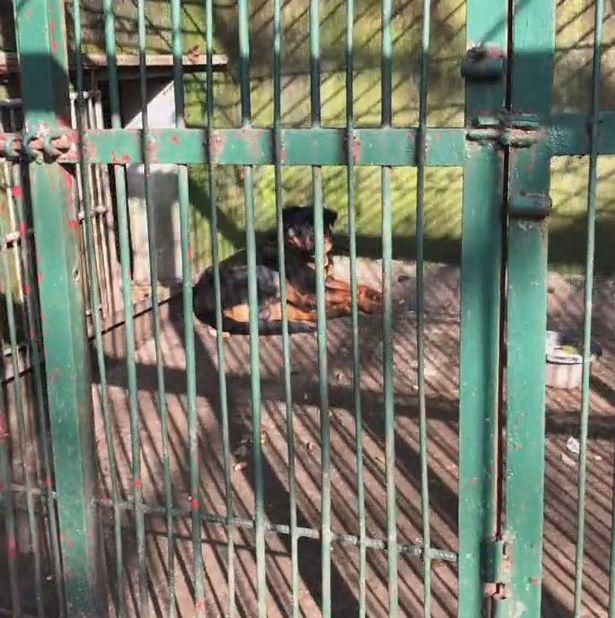 Dogilike.com :: สวนสัตว์จีน ขังร็อตไวเลอร์แทนหมาป่าที่ตายเพราะโรคชรา