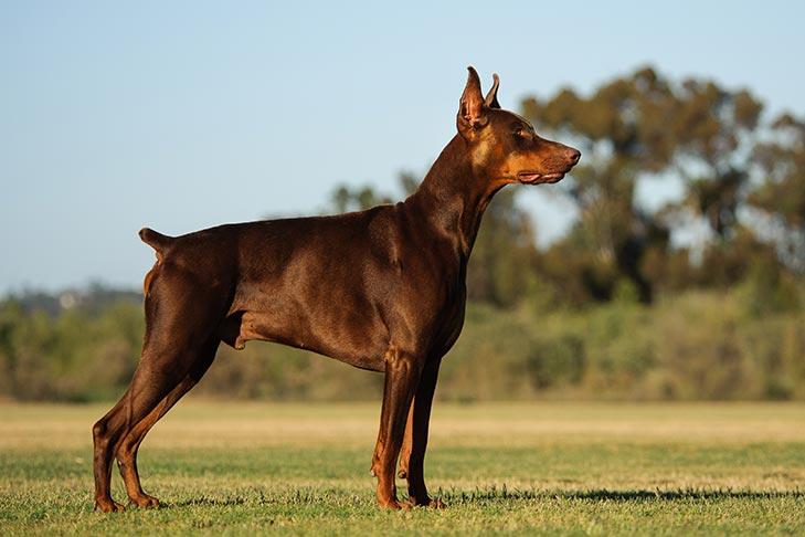 Dogilike.com :: เคยสงสัยไหม ทำไมน้องหมาบางพันธุ์ต้องตัดหาง?