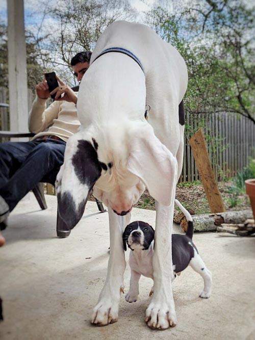 Dogilike.com :: ส่องความน่ารัก! 30 ภาพเกรทเดนที่คิดว่า ตัวเองเป็นสุนัขพันธุ์เล็ก