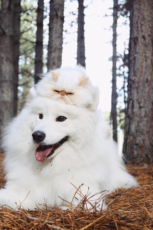 Dogilike.com :: น่ารักใจละลาย! เมื่อซามอยด์ขนปุยเป็นคู่ซี้กับแมวหน้าบึ้ง