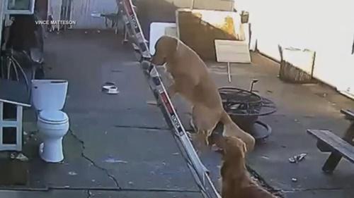 Dogilike.com :: ไวรัลขำๆ! โกลเด้นฯสุดฉลาดปีนบันไดขึ้นไปจ๊ะเอ๋เจ้าของบนหลังคา
