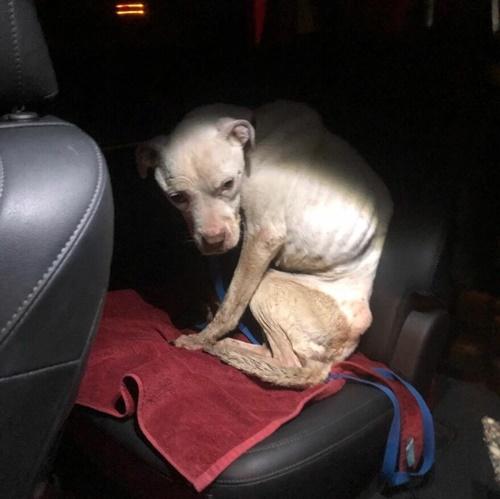 Dogilike.com :: พิทบูลฯถูกทิ้งในอะพาร์ตเมนต์ร้าง ผอมโซหนังติดกระดูก!