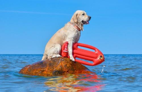 Dogilike.com :: รู้จัก เจ้าเบลีย์ ว่าที่น้องหมากู้ภัยทางน้ำ ฝึกหนักเพื่อช่วยชีวิตผู้คน!