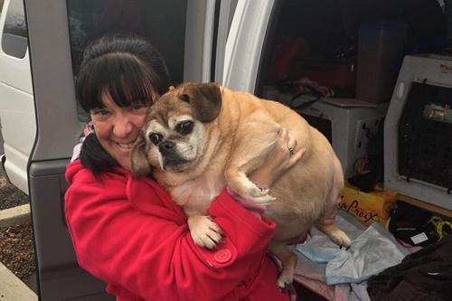 Dogilike.com :: เร่งลดน้ำหนัก! เจ้าตูบหนัก 29 กิโลกรัม อ้วนจนลุกเดินไม่ได้