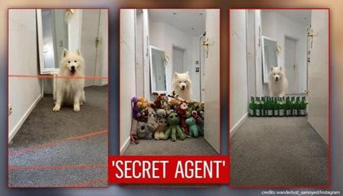 Dogilike.com :: เฟลิกซ์ ซามอยด์แสนน่ารักโชว์ข้ามสิ่งกีดขวาง 3 ระดับ