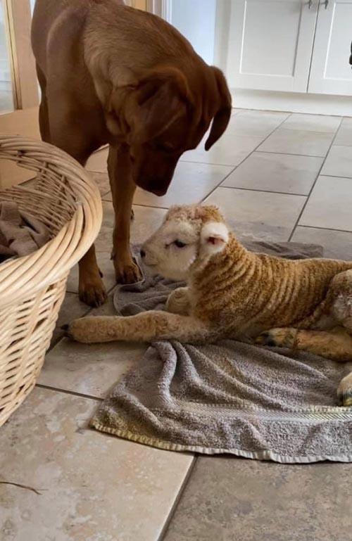 Dogilike.com :: เจ้าตูบรับบทพี่เลี้ยงลูกแกะ หลังเกิดมาร่างกายอ่อนแอ!