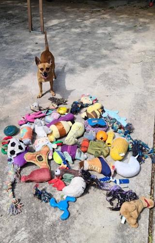 Dogilike.com :: เจ้าตูบตัวแสบ ขโมยของเล่นสุนัขตัวอื่นสะสมไว้นับร้อยชิ้น