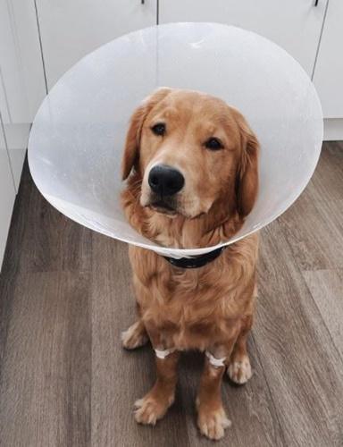 Dogilike.com :: เจ้าตูบกลืน AirPods ลงท้อง ผ่าออกมายังใช้ได้ปกติ!