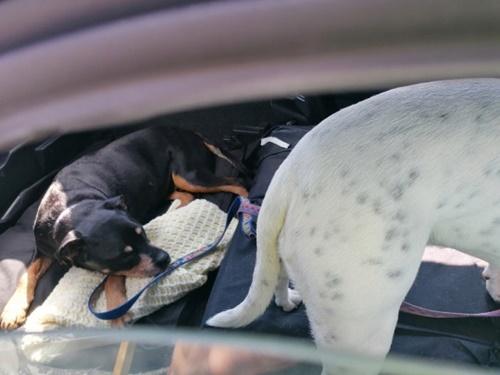 Dogilike.com :: จนท.ช่วยเจ้าตูบถูกทิ้งไว้บนรถ หลังเจ้าของลงไปช้อปปิ้ง