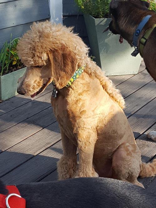 Dogilike.com :: เทรนด์ฮิต! เหล่าเจ้าของพาน้องหมาตัดขนทรง มัลเล็ต (Mullet)