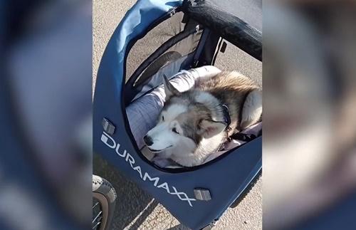Dogilike.com :: เจ้าของพาตูบป่วยโรคข้ออักเสบ นั่งรถพ่วงจักรยานชมวิว