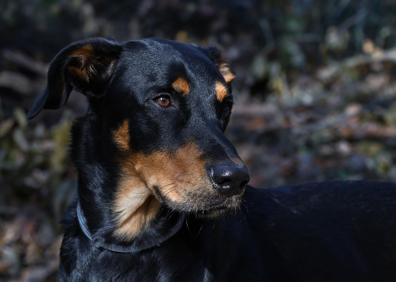 Dogilike.com :: 7 สายพันธุ์สุนัขขนสีดำสุดนุ่มลึก สำหรับสายแบล็คไลท์