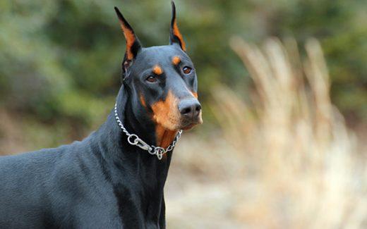 Dogilike.com :: จัดอันดับ 6 สายพันธุ์น้องหมาที่ชาตินี้ขอรักนายแค่คนเดียว