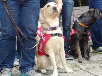 Dogilike.com :: สงสัยไหม ทำไมผู้พิการทางสายตาในไทยไม่ใช้สุนัขนำทาง