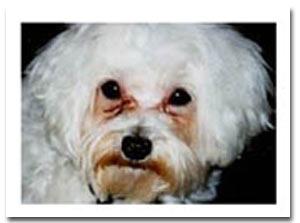 Dogilike.com :: มอลทีส  กับปัญหาเจ้า (คราบ) น้ำตา