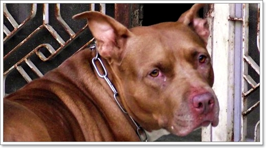 Dogilike.com :: ฝึก \พิทบูล\ อย่างไรไม่ให้ทำร้ายคน