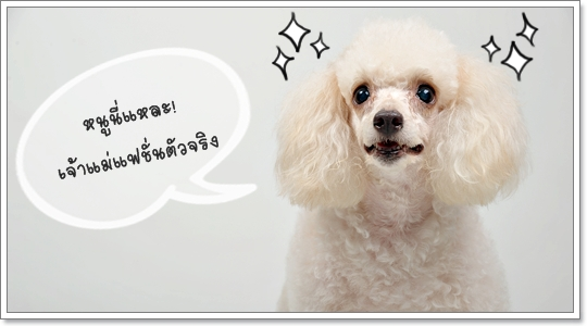 Dogilike.com :: พุดเดิ้ล เจ้าแม่แฟชั่น