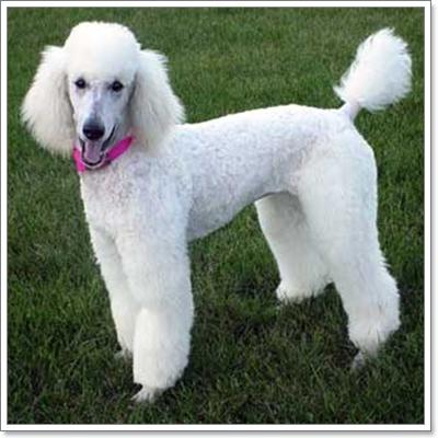 Dogilike.com :: ทำไมถึงต้องตัดหาง ตัดหู สุนัข?