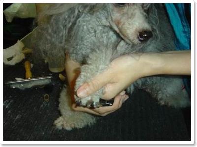 Dogilike.com :: เรื่องเล็บ(น้องหมา)ที่ไม่เล็ก