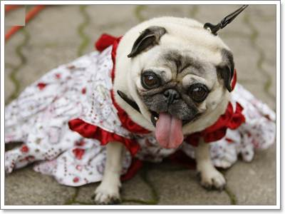 Dogilike.com :: น้องหมาจำเป็นต้องใส่เสื้อผ้าจริงหรือ?