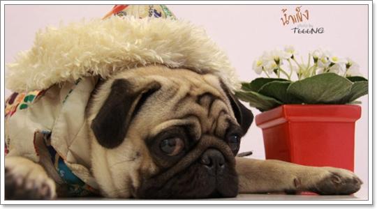 Dogilike.com :: วิธีเลือกสุนัขพันธุ์ปั๊ก