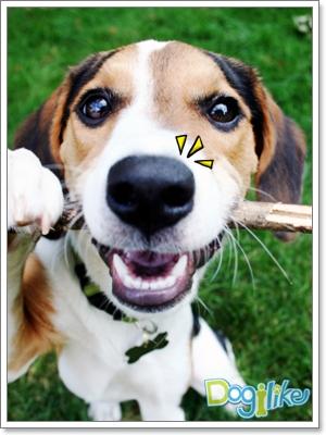 Dogilike.com :: ไซนัสอักเสบของสุนัข