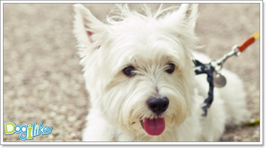 Dogilike.com :: ฝึกสุนัขเพื่อไปหาหมอ