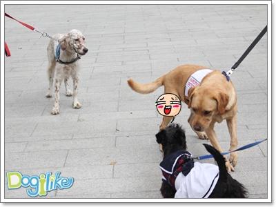 Dogilike.com :: ฝึกมารยาททางสังคมสุนัข