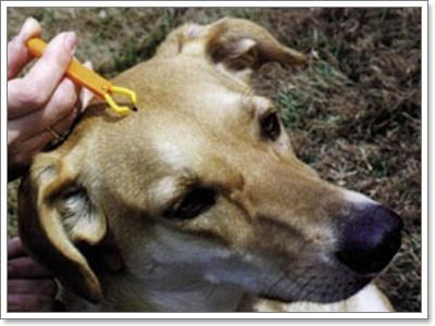 Dogilike.com :: บี้เห็บ...เพิ่มทวีคูณได้จริงหรือ?