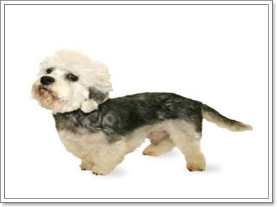 Dogilike.com :: แดนดี้ ดินมัท เทอร์เรีย น้องหมาขาสั้น(ได้อีก!!)