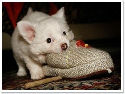 Dogilike.com :: เหตุผลอะไรที่น้องหมาชอบกัดรองเท้า!