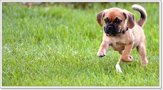 Dogilike.com :: ปั๊กเกิ้ล (Puggle) น่ารักน่ากอดแบบทูอินวัน