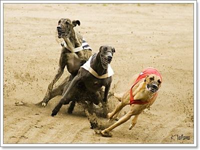 Dogilike.com :: เมื่อน้องหมาเกรย์ฮาวด์วิ่งแข่งกับม้า ใครจะชนะ?