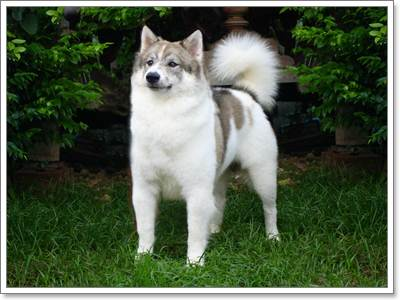Dogilike.com :: บางแก้ว หมาไทยขนฟู ผู้ซื่อสัตย์