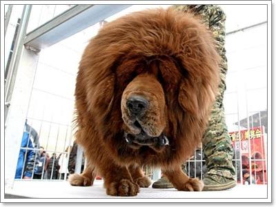 Dogilike.com :: ทิเบตัน มาสทิฟฟ์ ดุจริง อะไรจริง!!