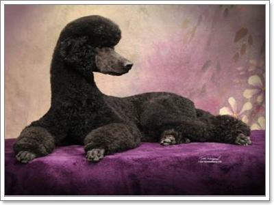 Dogilike.com :: พูเดิลมาตรฐาน น้องหมาขนหยิกพิชิตใจเจ้าของ