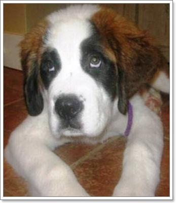 Dogilike.com :: สุดยอดเซนต์เบอร์นาร์ดช่วยเจ้าของจนตัวตาย