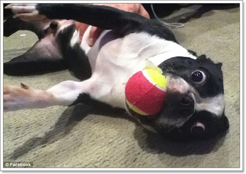 Dogilike.com :: ยลโฉมบรัสชี สุนัขที่มีดวงตาใหญ่ที่สุดในโลก