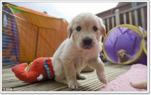 Dogilike.com :: สานต่อ! เตรียมฝึกลูกหมา10 ตัวเป็นสุนัขนำทางคนตาบอด