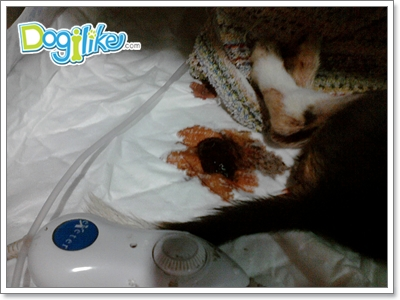 Dogilike.com :: ลำไส้อักเสบติดต่อ โรคร้ายใกล้ตัวสุนัข