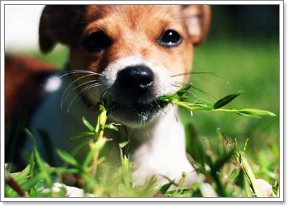 Dogilike.com :: การรักษาตัวเองของสุนัข ตอน สุนัขกินหญ้า
