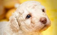 โรคทางพันธุกรรม อันตรายที่แฝงกายในลูกหมา