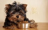วางแผนการให้อาหารลูกสุนัขมาใหม่อย่างถูกวิธี