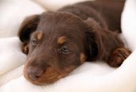 หวัด...โรคติดต่อสุดฮิตในลูกสุนัข