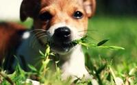 การรักษาตัวเองของสุนัข ตอน สุนัขกินหญ้า