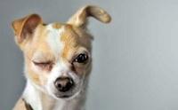 6 อาการ ที่บ่งบอกว่า น้องหมา(กำลัง)ป่วยด้วยโรคตา