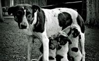 เมื่อแม่หมาเป็น
